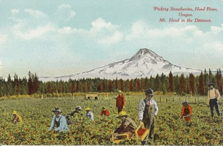 Strawberry picking near Mt Hood